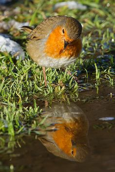 A robin inspects his reflection after a quick wash in a puddle along a track. Pretty Birds, Love Birds, Beautiful Birds, Animals Beautiful, Cute Animals, Small Birds, Little Birds, Colorful Birds, European Robin