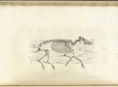 William Cheselden: Osteographia, or The anatomy of the bones