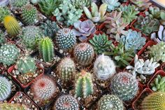Succulent & Cactus Mix bulk wholesale succulent prices at the succulent source - 2 Wholesale Succulents, Succulents For Sale, Types Of Succulents, Colorful Succulents, Planting Succulents, Succulents Diy, Propagating Cactus, Succulent Cuttings, Succulent Plants