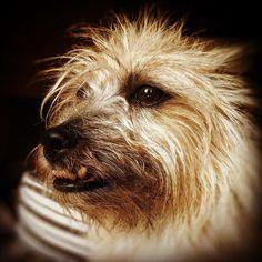 #benji the #dog #terrier #jackrussellterrier #puppy #terribleterrier #mansbestfriend