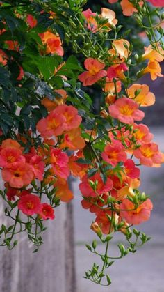 Chinese Trumpet Creeper (Campsis grandiflora) - is beautiful but aggressive enough to be considered invasive. Flowers Nature, Amazing Flowers, Pretty Flowers, Unusual Flowers, Deco Floral, Flowering Vines, Orange Flowers, Creepers, Beautiful Gardens
