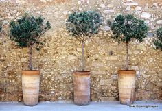 Three potted olive trees by Michael Guttman