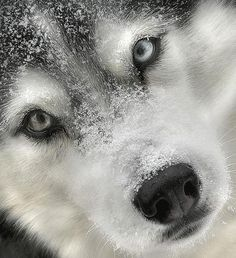 Beautiful picture!  Someone said this was a wolf, but looks like a beautiful husky face to me.