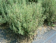 French Thyme Seeds -Thymus vulgaris, Sometimes called Summer Thyme, Organic Perennial Herb – Rezepte Fresco, Thyme Flower, Thyme Herb, Fruit Seeds, Herb Seeds, How To Attract Birds, Indoor Plants, Herb Plants, Bruges