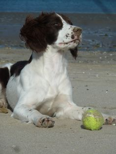 Springer Spaniel - Balli with the ball at the beach Springer Spaniel Puppies, English Springer Spaniel, Spaniels, Cocker Spaniel, Doggies, Dogs And Puppies, Boston Terrier Love, Everything Is Awesome, Partridge