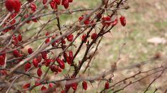 barberry bush // nice gardening.