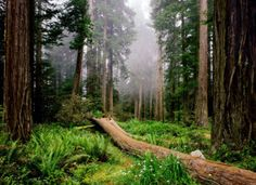 Redwood National and State Parks, United States of America.