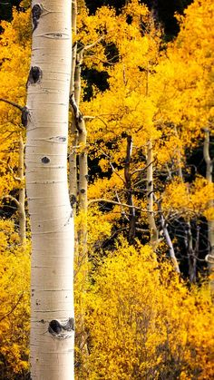 Golden Aspens #aspen #goden #fall #autumn  Hiking under golden Aspens in the Golden Gate Canyon in Colorado.  Find this print and download at: https://linksproductionsllc.smugmug.com/Miscellaneous/  https://500px.com/linksproductions  www.linksproductionsllc.com