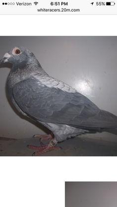 Le Pigeon, Pigeon Loft, Homing Pigeons, Lofts, Mosaic, Racing, Birds, Animals, Animais