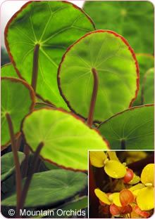 Begonia scapigera : Mountain Orchids, Orchids & Plants for discriminating tastes.