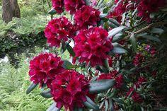 Rhododendron 'Black Spot'