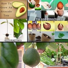 How to Grow an Avocado Tree From Start to Finish | Happy House and Garden Social Site