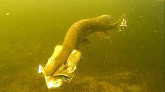 Pike attack StrikePro Salmonid Minnow fishing lure underwater. Рыбалка а...