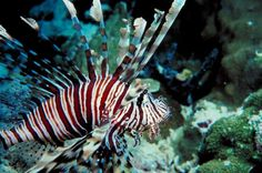 virgin islands fish images | ... and kill of the invasive fish in the Virgin Islands National Park