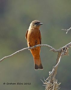 Cliff Flycatcher (Hirundinea ferruginea)