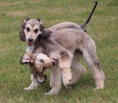 Afghan Hound Puppy, Hound Dog, Hound Puppies, Hound Breeds, Dog Breeds, Puppy Play, Puppy Love, Whippet, Happy Dogs