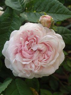 Alba Rose: Rosa 'Félicité Parmentier' (Belgium, before 1836)