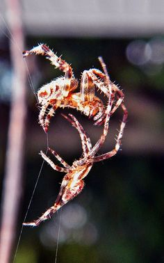 Dueling Spiders ~ cl   Not an insect,  but interesting!