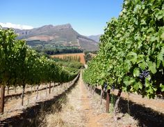 The wines of Thelema Mountain Vineyards, Stellenbosch, South Africa Wineries, South Africa, Vineyard, Cape, Coastal, Around The Worlds, Mountain, African, Ocean