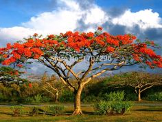New-Home-Gaeden-Plant-Royal-Poinciana-Delonix-Regia-font-b-Tree-b-font-font-b-Seeds.jpg (892×669)