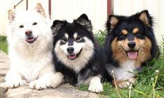 "animalblog-com: ""Finnish Lapphund: The Finnish Lapphund is a miniature dog that"