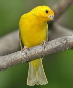 Saffron Finch,    South America, Trinidad, Tobago, Hawaii & Puerto Rico