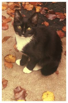 Gatsby #kitten #autumn #catsofpinterest #catlady