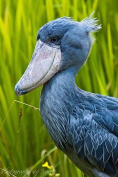 Shoebill: Shoebill also known as Whalehead or Shoe-billed Stork, is a very large stork-like bird. It derives its name from its massive shoe-shaped bill. It lives in eastern Africa. It can grow to almost 5 FEET tall!