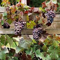 Best way to grow grape vine grape plant fertilizer,grape vines in containers grapes information,growing grapes in the backyard garden growing wine. Diy Garden, Garden Trellis, Fruit Garden, Edible Garden, Vegetable Garden, Garden Plants, Growing Grapes, Growing Plants, How To Grow Grapes