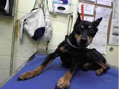TO BE DESTROYED MONDAY, 3/10/14 Manhattan Center - TOBY - A0993246  *** EUTHANASIA REQUEST *** Poor Toby's owner died and person that turned the dog over would not cooperate with OTC questioning. They did request for Toby to be put down! PLEASE NETWORK FOR MEDICAL CARE AND TO SAVE HIS LIFE!