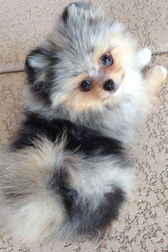 A beautiful Merle Pomeranian