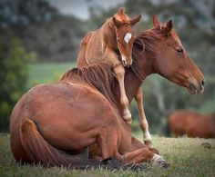 Baby horse crawling up for a hug on Momma. Adorable horses!