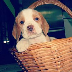 Dog in a basket.