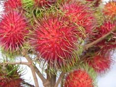 I had these in Costa Rica and they were so good!! Rambutans or as they called them, mamons