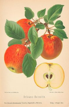 The Biodiversity Heritage Library works collaboratively to make biodiversity literature openly available to the world as part of a global biodiversity community. Apple Illustration, Vegetable Illustration, Vintage Botanical Prints, Botanical Drawings, Botanical Art, Vintage Art, Gravure, Natural History, Flower Power