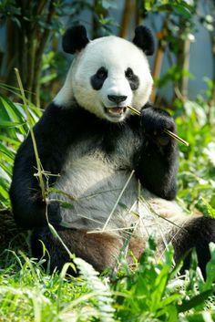 River Safari Singapore! Kai Kai and Jia Jia at the lush Giant Panda Forest. #singapore #attractions
