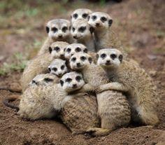 Meerkat family love.