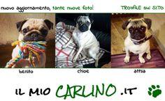 Scopri la più grande raccolta di foto Carline!! www.ilmiocarlino.it/foto_album.htm  Invia le foto del TUO Carlino: http://www.ilmiocarlino.it/invia-foto.htm #carlino #fotografia #animali #divertimento #cuccioli #carlini