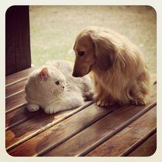 Cléo and Rios, at Salatino's Club. #dog #dogs #cachorro #pero #caes #teckel #gato #cat #kennel #canil #nature #animales #cute #filhote #dachshund #teckel #golden #dachshundlonghair #teckelpelolongo #ragdoll