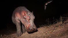 Hipopótamo y murciélago.