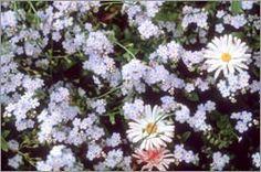 Alaska   The Alpine Forget-me-Not  Alaska's state flower is the alpine forget-me-not. It was chosen in 1949.
