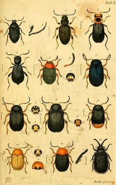 Woodcutting/Lithograph prints of insects