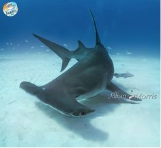 Shark of the Month: Learn all about the Great Hammerhead… Underwater Creatures, Ocean Creatures, Underwater World, Orcas, Types Of Sharks, Shark Photos, Shark Art, Salt Water Fish, Hammerhead Shark