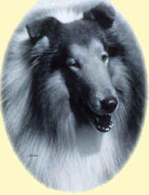 Ch Tartanside The Gladiator Smooth Collie, Rough Collie, Collie Dog, Best Dog Breeds, Best Dogs, Big Teddy, Doggy Stuff, Blue Merle, Sheltie