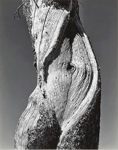 Pine, Lake Tenaya, Yosemite National Park — photo by Edward Weston, 1937    photo by Edward Weston, 1937
