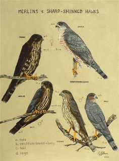 Merlin Falcon North American stationary pictures - Yahoo Image Search Results