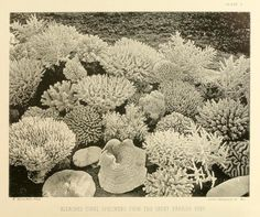 Images from William Saville-Kent's The Great Barrier Reef of Australia High By The Beach, Image Hunter, Natural Curiosities, Wild Nature, Watercolor Sketch, Media Images, Great Barrier Reef, Natural History, Nature Photos