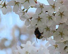 lentebloesem, Uden, Pauluskerk, lente , bloesem, Gert de Goede, Voorjaar