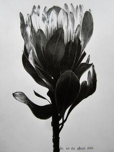 "Saatchi Online Artist Ira van der Merwe ""Protea Study V"" Botanical Drawings, Botanical Art, Botanical Illustration, Illustration Art, Protea Art, Protea Flower, Pencil Drawings, Art Drawings, Ink Illustrations"