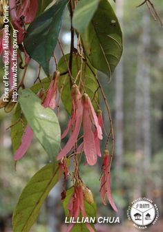 Shorea acuminata - Fruiting twig.jpg